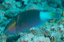 BD-150226-Sharm-7010-Chlorurus-sordidus-(Forsskål.-1775)-[Daisy-parrotfish].jpg